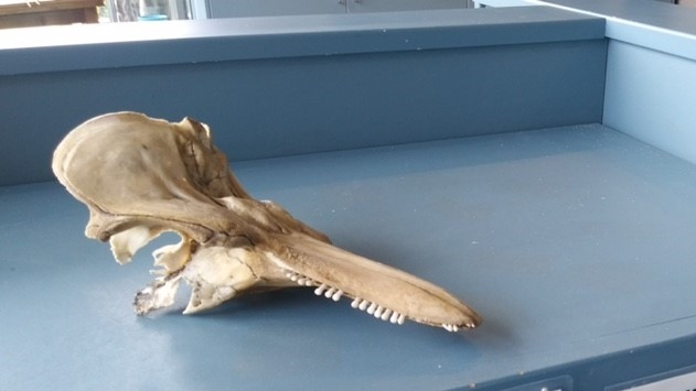 The missing porpoise skull is pictured: (Shaw Centre for the Salish Sea)