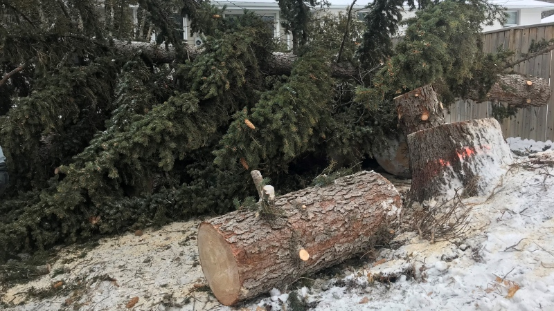Regina homeowners, Blair and Loretta McClinton's 80-foot pine tree came crashing down in the storm. (Cally Stephanow / CTV News Regina)