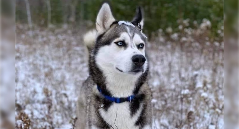 BoBear, a large Husky, went missing in South West Oxford Township on Sunday, Jan. 17, 2021. (Source: K9 Ground Search - Elgin/Middlesex / Facebook)