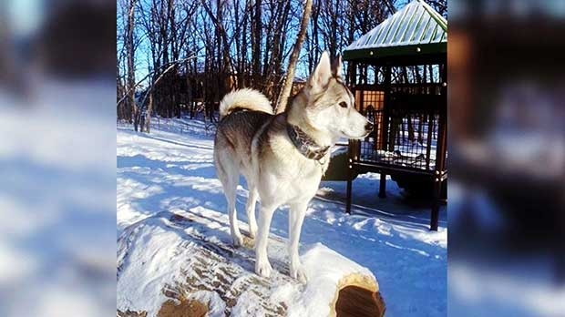 Pawter enjoying the nice cold weather in Ste. Anne. Photo by Nicole.