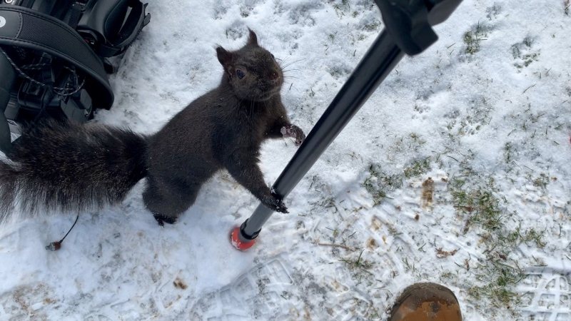 Squirrel in London Ont. on Jan. 19, 2021. (Marek Sutherland/CTV London)