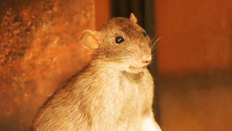 Rat sightings spiked in Alberta in 2020, but a lot of the sightings may have not been rats, says a specialist with Alberta's Rat Control Program