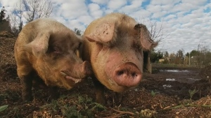 """They are the best animals I think; even better than a dog."" Adam accepts an exuberant invitation and meets a woman in Central Saanich relishing the positivity of pigs."
