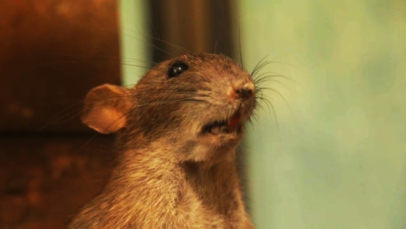 Rat sightings spiked in Alberta in 2020, but it may not be as bad as it sounds.