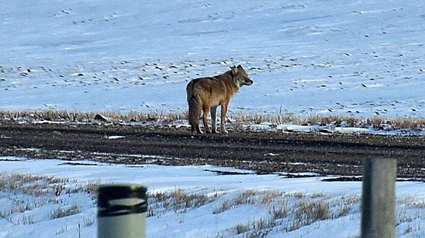 Coyote spotted near a field close to Morris Manitoba. Photo by Josh Keck.