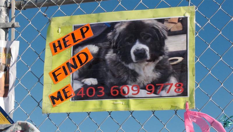 Leeza was startled by fireworks on Dec. 30 and bolted into Beddington Golf Park, and has been missing for the past three weeks. Rob Stevens and his wife Melissa are continuing the search for the dog, which is a Saint Bernard, Great Pyrenees and Akita cross who weighs 52 kilograms