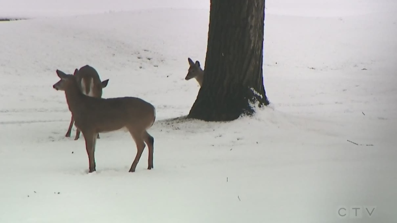 MNRF concerned about large dogs chasing deer