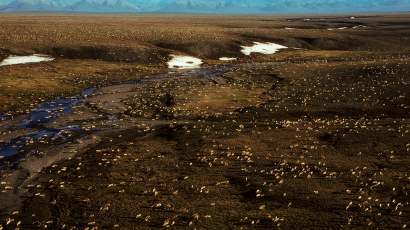 This undated aerial file photo provided by U.S. Fish and Wildlife Service shows a herd of caribou on the Arctic National Wildlife Refuge in northeast Alaska. (U.S. Fish and Wildlife Service via AP, File)