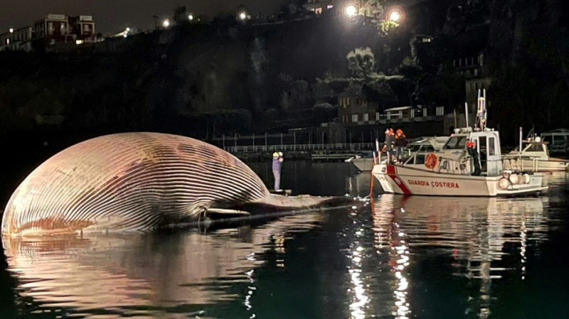 The carcass of a huge dead whale is towed by Italy's coast guard to the port of Naples to determine the cause of death. (AFP)