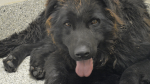 Jake, a Newfoundland mix, is recovering at the Ottawa Humane Society after being found in Dunrobin on Jan. 10. (Photo courtesy: Ottawa Humane Society)