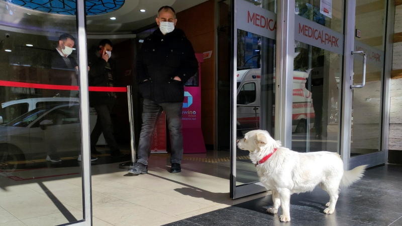 Devoted dog Boncuk looks for his owner, Cemal Senturk, at the entrance of a medical care facility in the Black Sea city of Trabzon, Turkey, Tuesday, Jan. 19, 2021. Boncuk has spent five days waiting in front of the hospital where her sick owner was receiving treatment. Senturk was discharged from the hospital later on Wednesday and returned home with Boncuk. (DHA via AP)