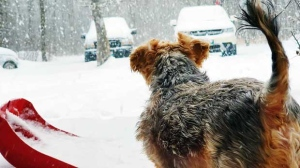 Kirby watching the snow at Brokenhead First Nation in Scanterbury. Photo by Leona Daniels.