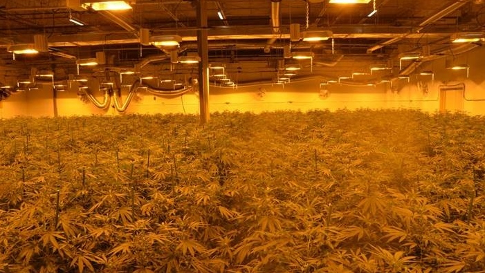 Marijuana plants in Chatham-Kent. (Courtesy Chatham-Kent police)