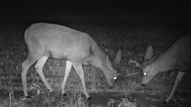 Mule Deer bucks captured on one of Harris' trail cameras set up around Saskatoon. (Courtesy of Katie Harris)