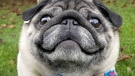 Pickles, a five-year-old pug, is receiving medical treatment after suffering from a status epilepticus event. (Sarah Mitchell)