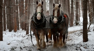 "Horse Logger Alex ""Alec"" McGrath has been skidding timber for more than 60 winters in the Upper Ottawa Valley. (Joel Haslam/CTV News Ottawa)"