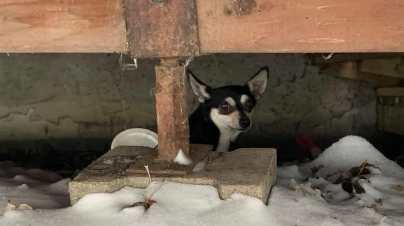 Clyde the Chihuahua