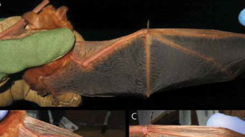 New bat species discovered in West Africa