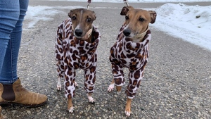 Willa and Alydar are showing off their pandemic fashion (Jessica Smith / CTV News Kitchener)