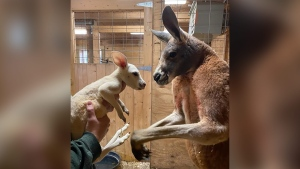 Cosmo is pictured with his dad, Boomer. (Animal Adventure Park/CNN)