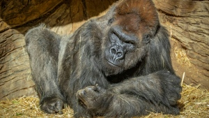 Winston, 48, was one of several gorillas among the San Diego Zoo Safari Park's troop who were confirmed positive for the virus. (AFP)