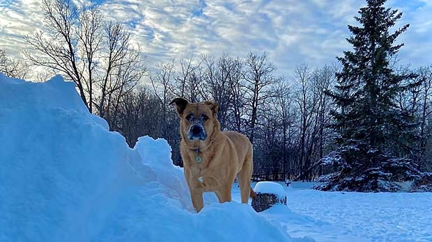 Sunny enjoying his snow hill in Teulon, MB. Photo by Hanna Postlethwaite.