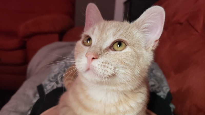 Riley McCann's three-year-old cat Dewy, who was lost by Air Canada during a connection in Toronto, is seen in the photo. (Supplied)