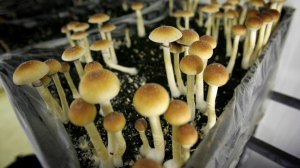In this Aug. 3, 2007, file photo, psilocybin mushrooms are seen in a grow room at the Procare farm in Hazerswoude, central Netherlands. (AP Photo/Peter Dejong, File)