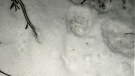 Cougar tracks are seen in an image provided by the B.C. Conservation Officer Service.