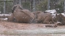Elephant herd frolics in snow at Tucson zoo