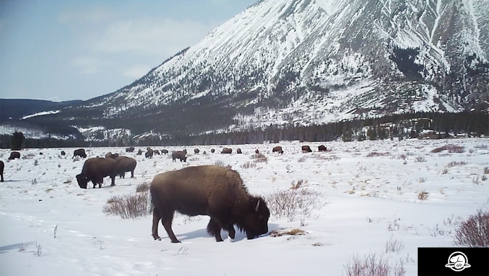 One of the images of Banff National Park's plains bison herd captured in the eastern slopes with a motion activated wildlife camera.