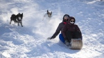 Gilda Shannon, right, and Jana Steingass are chased by their dogs Luna, left and Rudy, centre, as they toboggan down Carlington Hill in Ottawa after an overnight snowfall, on Wednesday, Jan. 27, 2021. (Justin Tang/THE CANADIAN PRESS)