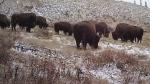 Bison stage Banff comeback