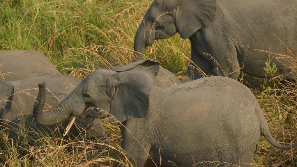 Congo elephants