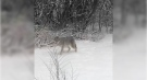 A coyote is seen in the Oakridge neighbourhood of London, Ont. in this viewer video sent on Wednesday, Jan. 27, 2021.