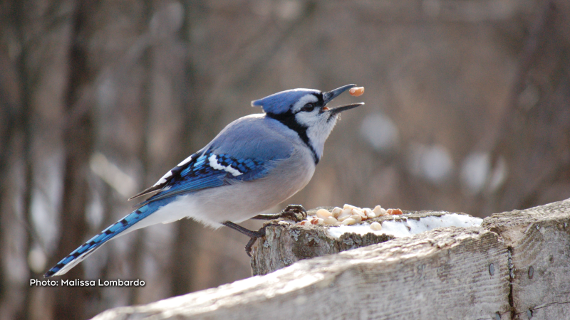 A Bluejay at the Beaver Trail. (Malissa Lombardo/CTV Viewer)