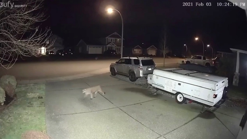 The cougar crossed through the neighbourhood on Wednesday night: (Cary Deederly)