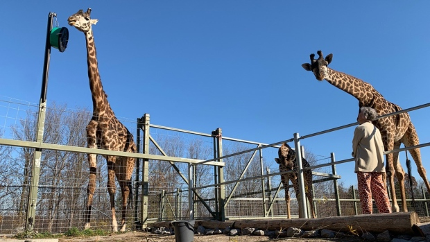 Giraffe expert Anne Innis Dagg looks up at a giraffe at the Toronto Zoo. (Dan Riskin)