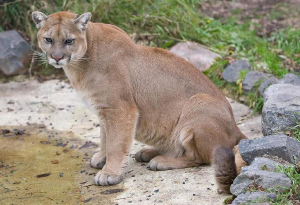 max, cougar at Assiniboine Park Zoo