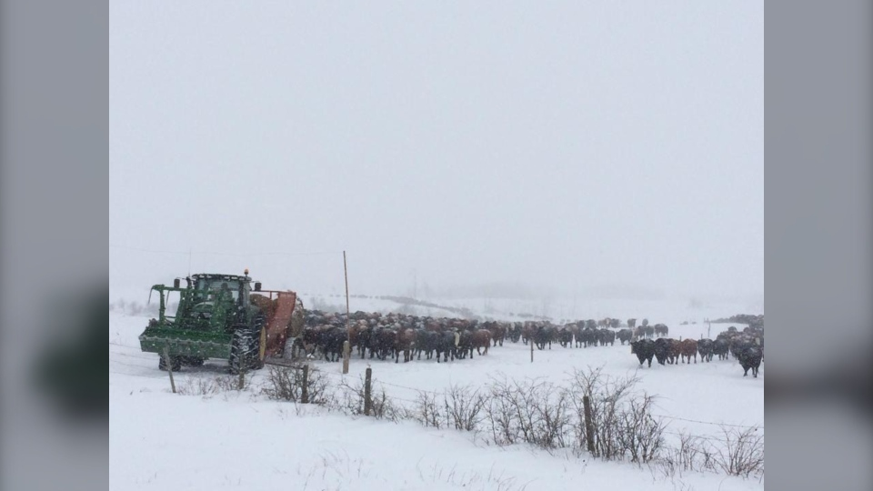 cold cattle