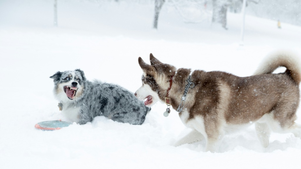 dogs playing AFP