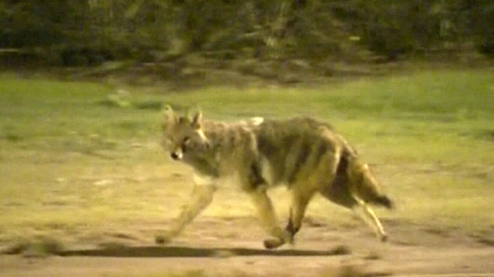 Coyote sightings up in the northeast this winter