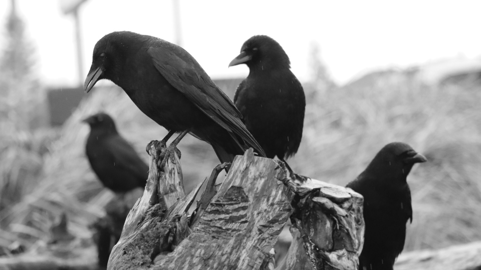 A Campbell River woman has been impressing fans across the world with her photographs of crows: (@TheCrowtographer / Twitter)