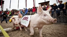 Spectators watch a traditional pig race at the Swiss agriculture fair OLMA in St. Gallen, Switzerland, Thursday, Oct. 8, 2009. (AP Photo/Keystone, Ennio Leanza)
