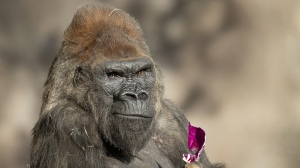 Several gorillas are back in public view for visitors at the San Diego Zoo after making a full recovery from COVID-19, according to an update from the zoo. (Tammy Spratt/San Diego Zoo Global/CNN)