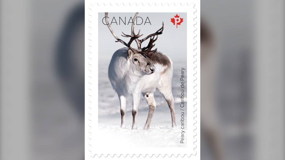 Paul Loewen's photograph of a Peary caribou is one of five photos chosen to be a part of the snow mammals stamp collection with Canada Post.