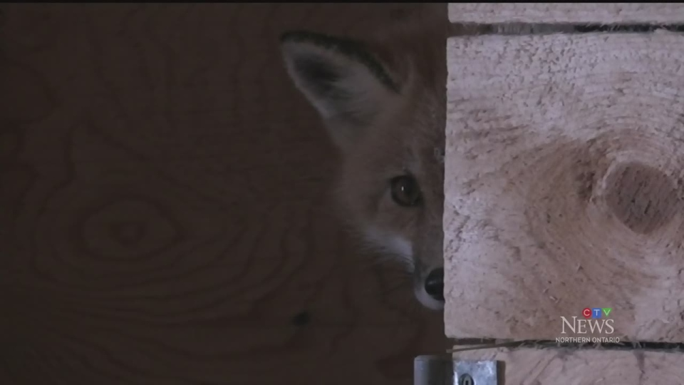 A fox peeks out from behinds some wood