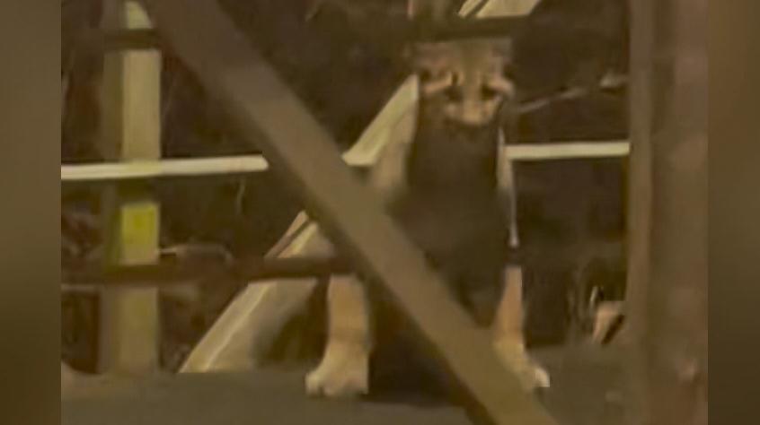 Cougar in Port Coquitlam