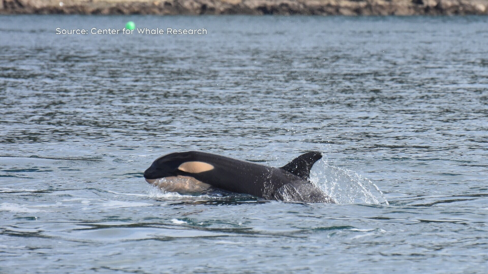 The orcas, including the new calf, were spotted on Wednesday morning: (Center for Whale Research)