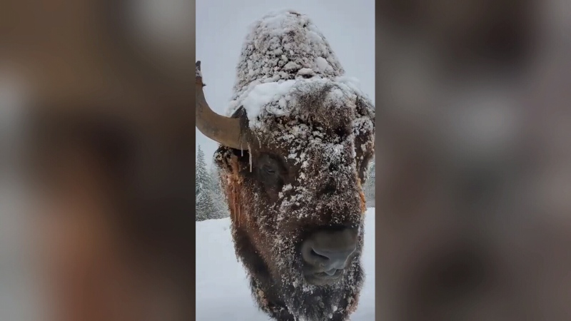 Listen to these bison as they trudge through snow